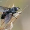 Dygliamusė - Eriothrix rufomaculata   Fotografijos autorius : Gintautas Steiblys   © Macrogamta.lt   Šis tinklapis priklauso bendruomenei kuri domisi makro fotografija ir fotografuoja gyvąjį makro pasaulį.