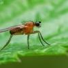 Smailiasparnė muselė - Lonchoptera lutea, patinas   Fotografijos autorius : Gintautas Steiblys   © Macrogamta.lt   Šis tinklapis priklauso bendruomenei kuri domisi makro fotografija ir fotografuoja gyvąjį makro pasaulį.