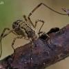Šienpjovys - Oligolophus cf. tridens  | Fotografijos autorius : Gintautas Steiblys | © Macrogamta.lt | Šis tinklapis priklauso bendruomenei kuri domisi makro fotografija ir fotografuoja gyvąjį makro pasaulį.
