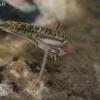 Irklablakė - Sigara sp., nimfa | Fotografijos autorius : Gintautas Steiblys | © Macrogamta.lt | Šis tinklapis priklauso bendruomenei kuri domisi makro fotografija ir fotografuoja gyvąjį makro pasaulį.