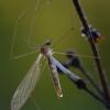 Uodas - Dicranomyia sp.   Fotografijos autorius : Gintautas Steiblys   © Macrogamta.lt   Šis tinklapis priklauso bendruomenei kuri domisi makro fotografija ir fotografuoja gyvąjį makro pasaulį.