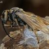 Ritasi širšuolas (Vespa crabro) | Fotografijos autorius : Gintautas Steiblys | © Macrogamta.lt | Šis tinklapis priklauso bendruomenei kuri domisi makro fotografija ir fotografuoja gyvąjį makro pasaulį.