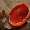 Austriškoji plačiataurė - Sarcoscypha austriaca | Fotografijos autorius : Gintautas Steiblys | © Macrogamta.lt | Šis tinklapis priklauso bendruomenei kuri domisi makro fotografija ir fotografuoja gyvąjį makro pasaulį.