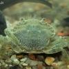 Europinis žaliasis krabas - Carcinus maenas, juv.  | Fotografijos autorius : Gintautas Steiblys | © Macrogamta.lt | Šis tinklapis priklauso bendruomenei kuri domisi makro fotografija ir fotografuoja gyvąjį makro pasaulį.