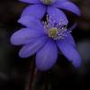 Triskiautė žibuoklė - Hepatica nobilis | Fotografijos autorius : Gintautas Steiblys | © Macrogamta.lt | Šis tinklapis priklauso bendruomenei kuri domisi makro fotografija ir fotografuoja gyvąjį makro pasaulį.