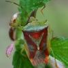 Krūminė skydblakė - Elasmostethus interstinctus  | Fotografijos autorius : Gintautas Steiblys | © Macrogamta.lt | Šis tinklapis priklauso bendruomenei kuri domisi makro fotografija ir fotografuoja gyvąjį makro pasaulį.