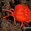 Aksominė erkė - Trombidium holosericeum   Fotografijos autorius : Gintautas Steiblys   © Macrogamta.lt   Šis tinklapis priklauso bendruomenei kuri domisi makro fotografija ir fotografuoja gyvąjį makro pasaulį.