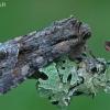 Pilkasis sodinis pelėdgalvis - Lacanobia w-latinum | Fotografijos autorius : Gintautas Steiblys | © Macrogamta.lt | Šis tinklapis priklauso bendruomenei kuri domisi makro fotografija ir fotografuoja gyvąjį makro pasaulį.