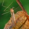 Uodas - Dicranomyia modesta   Fotografijos autorius : Gintautas Steiblys   © Macrogamta.lt   Šis tinklapis priklauso bendruomenei kuri domisi makro fotografija ir fotografuoja gyvąjį makro pasaulį.