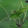 Lakštasparnis pjūklius - Phaneroptera falcata | Fotografijos autorius : Gintautas Steiblys | © Macrogamta.lt | Šis tinklapis priklauso bendruomenei kuri domisi makro fotografija ir fotografuoja gyvąjį makro pasaulį.