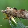 Ilganosis kuoduotis - Pterostoma palpina  | Fotografijos autorius : Gintautas Steiblys | © Macrogamta.lt | Šis tinklapis priklauso bendruomenei kuri domisi makro fotografija ir fotografuoja gyvąjį makro pasaulį.
