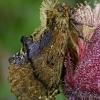 Kupriukas - Ptilodon capucina | Fotografijos autorius : Gintautas Steiblys | © Macrogamta.lt | Šis tinklapis priklauso bendruomenei kuri domisi makro fotografija ir fotografuoja gyvąjį makro pasaulį.