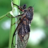 Kalninė cikada - Cicadetta montana  | Fotografijos autorius : Gintautas Steiblys | © Macrogamta.lt | Šis tinklapis priklauso bendruomenei kuri domisi makro fotografija ir fotografuoja gyvąjį makro pasaulį.