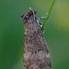 Drebulinis pūkanugaris - Ochropacha duplaris    Fotografijos autorius : Gintautas Steiblys   © Macrogamta.lt   Šis tinklapis priklauso bendruomenei kuri domisi makro fotografija ir fotografuoja gyvąjį makro pasaulį.