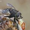 Dygliamusė - Panzeria puparum | Fotografijos autorius : Gintautas Steiblys | © Macrogamta.lt | Šis tinklapis priklauso bendruomenei kuri domisi makro fotografija ir fotografuoja gyvąjį makro pasaulį.