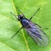 Snapmusė - Empididae | Fotografijos autorius : Gintautas Steiblys | © Macrogamta.lt | Šis tinklapis priklauso bendruomenei kuri domisi makro fotografija ir fotografuoja gyvąjį makro pasaulį.