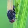 Girinukė - Minettia longipennis | Fotografijos autorius : Gintautas Steiblys | © Macrogamta.lt | Šis tinklapis priklauso bendruomenei kuri domisi makro fotografija ir fotografuoja gyvąjį makro pasaulį.