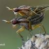 Sraigžudės - Limnia unguicornis    Fotografijos autorius : Gintautas Steiblys   © Macrogamta.lt   Šis tinklapis priklauso bendruomenei kuri domisi makro fotografija ir fotografuoja gyvąjį makro pasaulį.