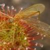 Ilgakojis uodas - Phylidorea ferruginea saulašarės auka   Fotografijos autorius : Gintautas Steiblys   © Macrogamta.lt   Šis tinklapis priklauso bendruomenei kuri domisi makro fotografija ir fotografuoja gyvąjį makro pasaulį.