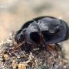 Kerpvabalis - Anisotoma castanea  | Fotografijos autorius : Gintautas Steiblys | © Macrogamta.lt | Šis tinklapis priklauso bendruomenei kuri domisi makro fotografija ir fotografuoja gyvąjį makro pasaulį.