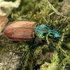 Šešiataškis žvitražygis - Agonum sexpunctatum  | Fotografijos autorius : Gintautas Steiblys | © Macrogamta.lt | Šis tinklapis priklauso bendruomenei kuri domisi makro fotografija ir fotografuoja gyvąjį makro pasaulį.