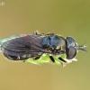 Žiedmusė - Pipizella sp. | Fotografijos autorius : Gintautas Steiblys | © Macrogamta.lt | Šis tinklapis priklauso bendruomenei kuri domisi makro fotografija ir fotografuoja gyvąjį makro pasaulį.