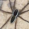 Juostuotasis plūdvoris - Dolomedes fimbriatus | Fotografijos autorius : Algirdas Vilkas | © Macrogamta.lt | Šis tinklapis priklauso bendruomenei kuri domisi makro fotografija ir fotografuoja gyvąjį makro pasaulį.