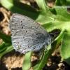 Celastrina argiolus - Žydrasis melsvys   Fotografijos autorius : Algirdas Vilkas   © Macrogamta.lt   Šis tinklapis priklauso bendruomenei kuri domisi makro fotografija ir fotografuoja gyvąjį makro pasaulį.