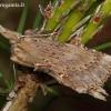 Ilganosis kuoduotis - Pterostoma palpina | Fotografijos autorius : Algirdas Vilkas | © Macrogamta.lt | Šis tinklapis priklauso bendruomenei kuri domisi makro fotografija ir fotografuoja gyvąjį makro pasaulį.