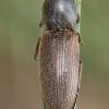 Pasėlinis dirvaspragšis - Agriotes sputator | Fotografijos autorius : Algirdas Vilkas | © Macrogamta.lt | Šis tinklapis priklauso bendruomenei kuri domisi makro fotografija ir fotografuoja gyvąjį makro pasaulį.