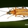 Oedemera podagrariae - Laibavabalis | Fotografijos autorius : Rimantas Stankūnas | © Macrogamta.lt | Šis tinklapis priklauso bendruomenei kuri domisi makro fotografija ir fotografuoja gyvąjį makro pasaulį.