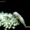 Sparva - Atylotus rusticus | Fotografijos autorius : Alma Totorytė | © Macrogamta.lt | Šis tinklapis priklauso bendruomenei kuri domisi makro fotografija ir fotografuoja gyvąjį makro pasaulį.