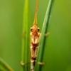 Apsiuva - Trichoptera | Fotografijos autorius : Alma Totorytė | © Macrogamta.lt | Šis tinklapis priklauso bendruomenei kuri domisi makro fotografija ir fotografuoja gyvąjį makro pasaulį.