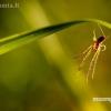 Storažandis - Tetragnatha sp. | Fotografijos autorius : Alma Totorytė | © Macrogamta.lt | Šis tinklapis priklauso bendruomenei kuri domisi makro fotografija ir fotografuoja gyvąjį makro pasaulį.
