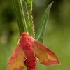 Deilephila porcellus - Mažasis sfinksas | Fotografijos autorius : Alma Totorytė | © Macrogamta.lt | Šis tinklapis priklauso bendruomenei kuri domisi makro fotografija ir fotografuoja gyvąjį makro pasaulį.