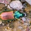Agonum sexpunctatum - Šešiataškis žvitražygis | Fotografijos autorius : Lukas Jonaitis | © Macrogamta.lt | Šis tinklapis priklauso bendruomenei kuri domisi makro fotografija ir fotografuoja gyvąjį makro pasaulį.