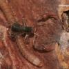 Neobisium carcinoides - Samaninis žnyplys | Fotografijos autorius : Lukas Jonaitis | © Macrogamta.lt | Šis tinklapis priklauso bendruomenei kuri domisi makro fotografija ir fotografuoja gyvąjį makro pasaulį.