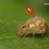 Sminthuridae - Rutuliškoji podūra | Fotografijos autorius : Lukas Jonaitis | © Macrogamta.lt | Šis tinklapis priklauso bendruomenei kuri domisi makro fotografija ir fotografuoja gyvąjį makro pasaulį.