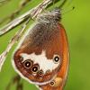 Coenonympha arcania - Krūminis satyriukas | Fotografijos autorius : Lukas Jonaitis | © Macrogamta.lt | Šis tinklapis priklauso bendruomenei kuri domisi makro fotografija ir fotografuoja gyvąjį makro pasaulį.