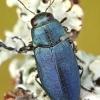 Phaenops cyanea - Mėlynasis blizgiavabalis | Fotografijos autorius : Lukas Jonaitis | © Macrogamta.lt | Šis tinklapis priklauso bendruomenei kuri domisi makro fotografija ir fotografuoja gyvąjį makro pasaulį.