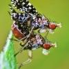Trypetoptera punctulata - Sraigžudė | Fotografijos autorius : Lukas Jonaitis | © Macrogamta.lt | Šis tinklapis priklauso bendruomenei kuri domisi makro fotografija ir fotografuoja gyvąjį makro pasaulį.