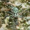 Kamieninis vikrūnas - Philodromus margaritatus | Fotografijos autorius : Lukas Jonaitis | © Macrogamta.lt | Šis tinklapis priklauso bendruomenei kuri domisi makro fotografija ir fotografuoja gyvąjį makro pasaulį.