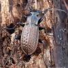 Carabus granulatus - Gumburiuotasis puošniažygis   Fotografijos autorius : Arūnas Eismantas   © Macrogamta.lt   Šis tinklapis priklauso bendruomenei kuri domisi makro fotografija ir fotografuoja gyvąjį makro pasaulį.