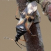 Anthocoris nemorum - Vaismedinė žiedblakė | Fotografijos autorius : Arūnas Eismantas | © Macrogamta.lt | Šis tinklapis priklauso bendruomenei kuri domisi makro fotografija ir fotografuoja gyvąjį makro pasaulį.