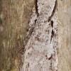 Semioscopis avellanella - Pilkasis semioskopis   Fotografijos autorius : Arūnas Eismantas   © Macrogamta.lt   Šis tinklapis priklauso bendruomenei kuri domisi makro fotografija ir fotografuoja gyvąjį makro pasaulį.