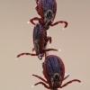 Dermacentor reticulatus - Pievinė erkė | Fotografijos autorius : Arūnas Eismantas | © Macrogamta.lt | Šis tinklapis priklauso bendruomenei kuri domisi makro fotografija ir fotografuoja gyvąjį makro pasaulį.