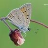 Lycaena hippothoe - Žvilgantysis auksinukas   Fotografijos autorius : Arūnas Eismantas   © Macrogamta.lt   Šis tinklapis priklauso bendruomenei kuri domisi makro fotografija ir fotografuoja gyvąjį makro pasaulį.