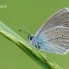 Cyaniris [=Polyommatus] semiargus - Pilkasis melsvys   Fotografijos autorius : Arūnas Eismantas   © Macrogamta.lt   Šis tinklapis priklauso bendruomenei kuri domisi makro fotografija ir fotografuoja gyvąjį makro pasaulį.