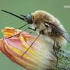 Bombylius posticus - Zvimbeklė | Fotografijos autorius : Arūnas Eismantas | © Macrogamta.lt | Šis tinklapis priklauso bendruomenei kuri domisi makro fotografija ir fotografuoja gyvąjį makro pasaulį.