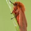 Rudoji meškutė - Phragmatobia fuliginosa    Fotografijos autorius : Arūnas Eismantas   © Macrogamta.lt   Šis tinklapis priklauso bendruomenei kuri domisi makro fotografija ir fotografuoja gyvąjį makro pasaulį.